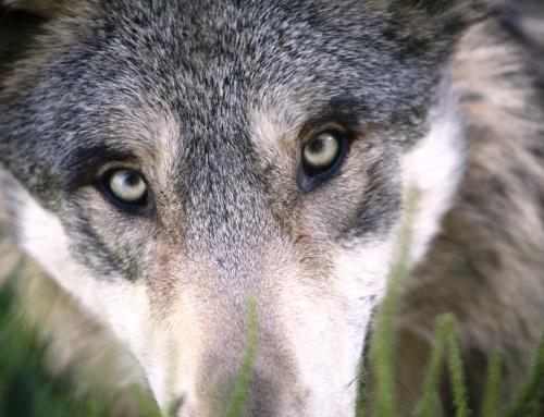 Der Wolf ist zurück!